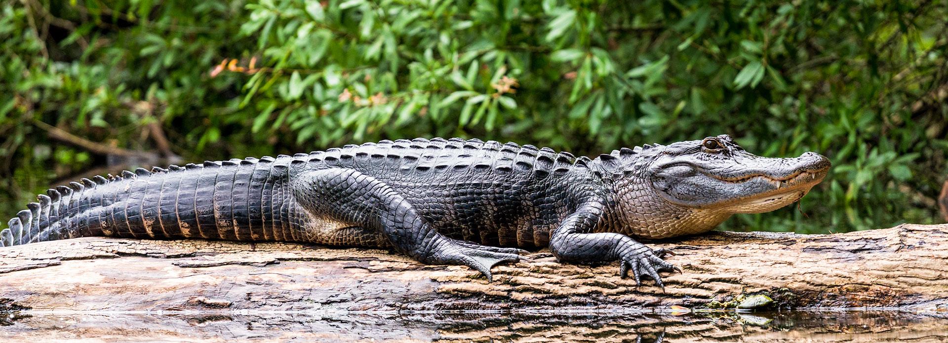 Gatorland at Orlando, Florida Resort
